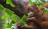 Za orangutany na Borneo