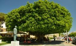 Unikátní strom - fikus benjamin