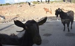 Zvědavé kozy