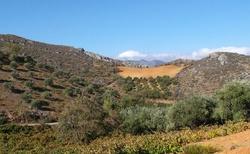Olivovníky