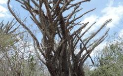 Ifaty - Národní rezervace Reniala - Záchranná stanice pro želvy paprsčité