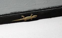 Malý gekon s váma bude bydlet v bungalovu.