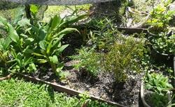 bylinková zahrádka, úžasné vidět jak vypadá zázvor, citrónová tráva....