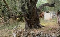 Tisícileté olivy, byly fascinující!