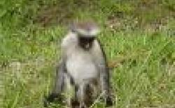 Zanzibar národní park Jozani plný opic