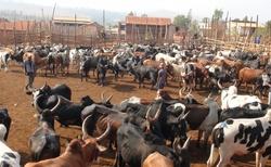 Ambalavao - největší trh zebu na Madagaskaru